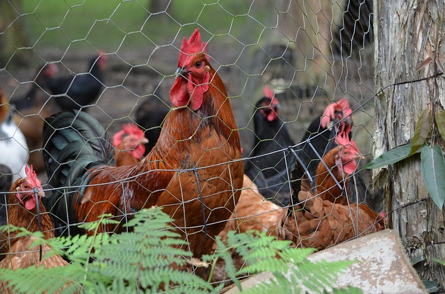 chicken coop with wire